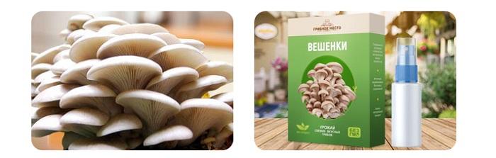Грибное место грибница Выращивание вешенок в домашних условиях круглый год: дешевле и полезнее магазинных грибов!